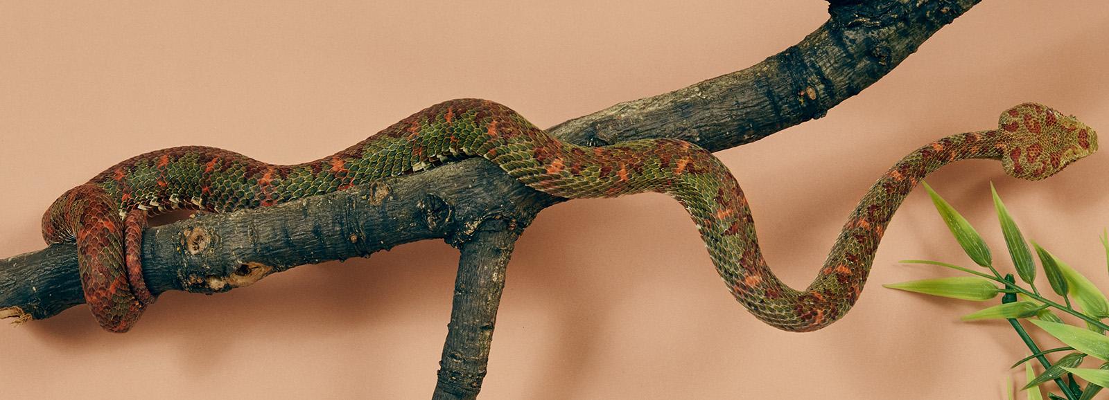 Snake coiled around branch of wood. (Image: Nick Ballon)